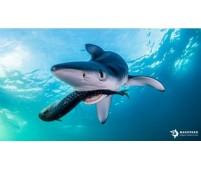 Avistamiento de Tiburones Azules en el Cantábrico